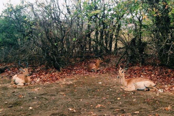 Snoozy impala