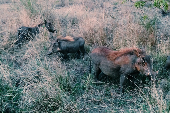 Mohawked warthogs
