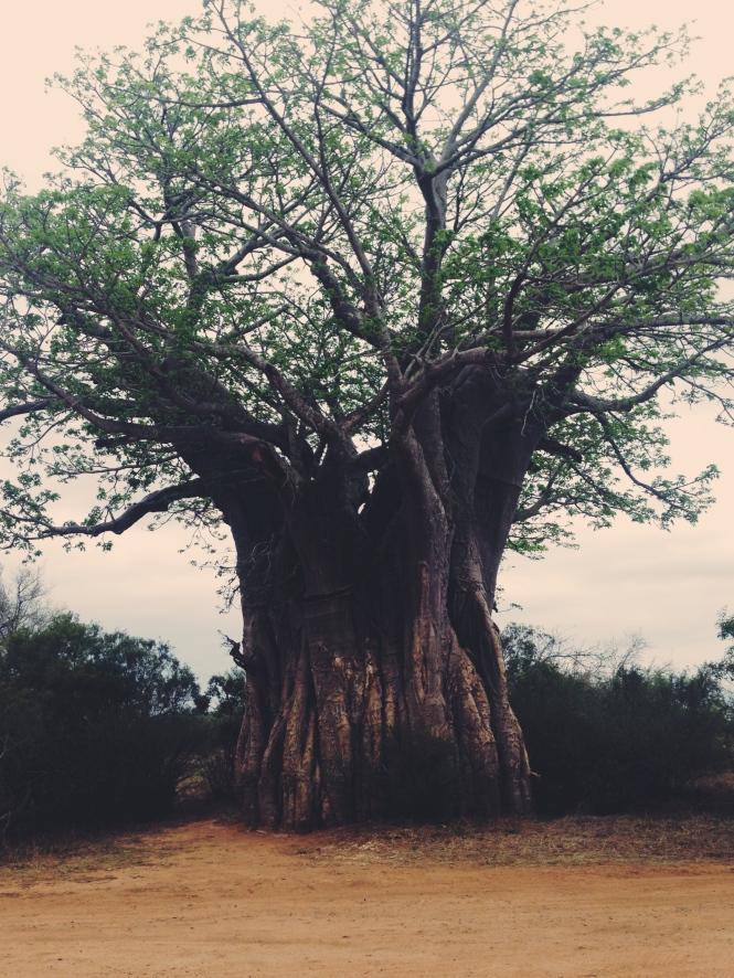Big old baobab